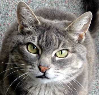 cat face1 alan adleralan adler cat face 350x335